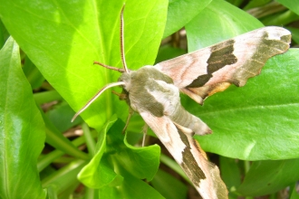 Lime hawkmoth on green leaves