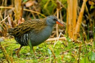 Water rail credit. Neil Aldridge