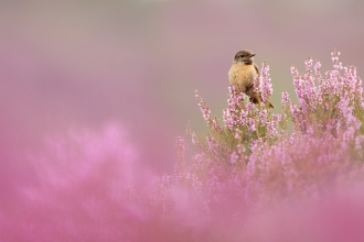 Stonechat on heather