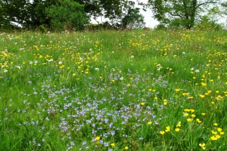 Cut-throat Meadow in bloom