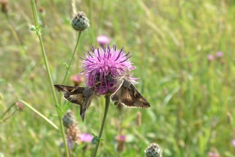 Two moths on a knapweed flower