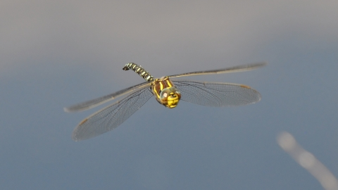 Hawker dragonfly - Janet Packham Photography