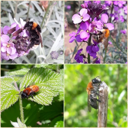 Four types of bee found at Lings nature reserve by Ryan Clarke