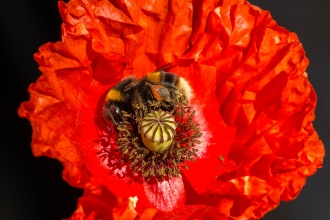 A buff-tailed bumblebee on common poppy