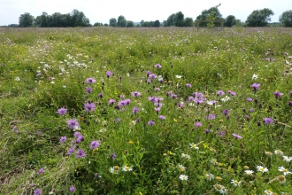 Wildflowers - Trumpington Meadows