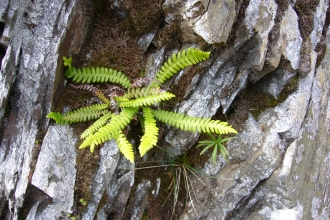 Blechnum fern on a rock